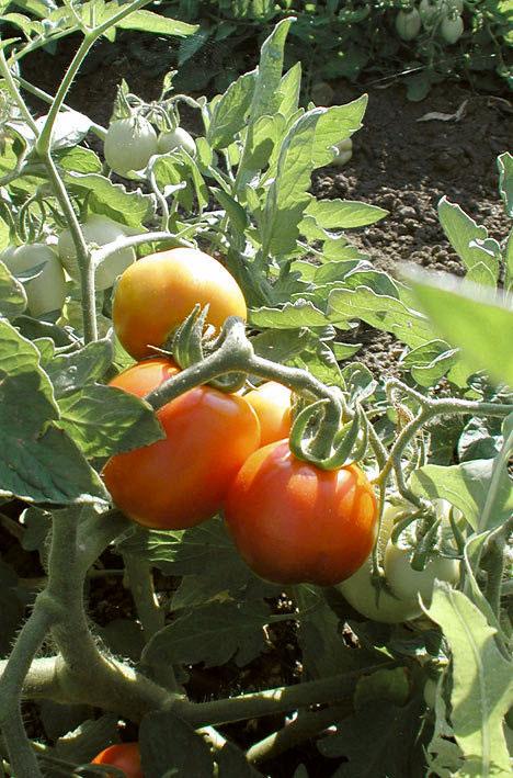оранжевые томаты на кусте