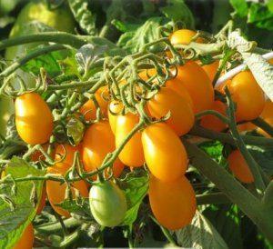 томат Финик желтый