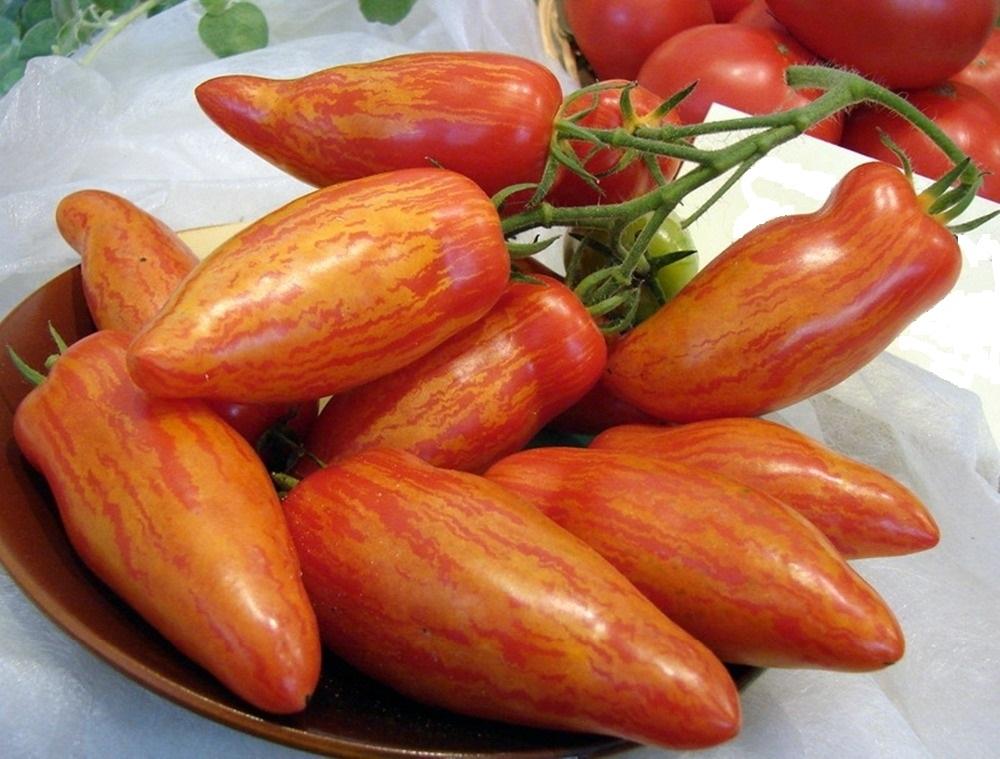 томат чухлома фото отзывы