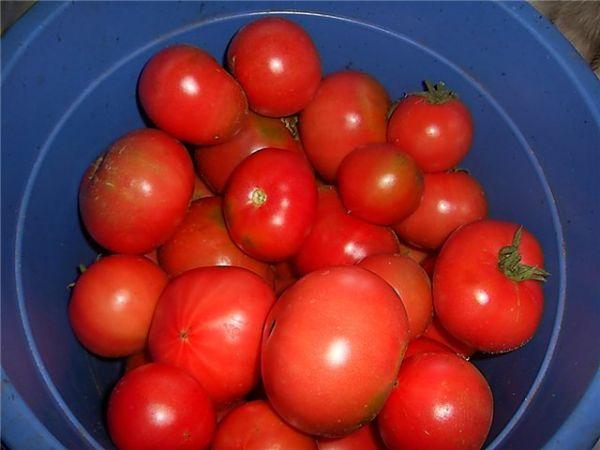 собранные спелые томаты