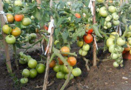 томаты выращенные на грядке