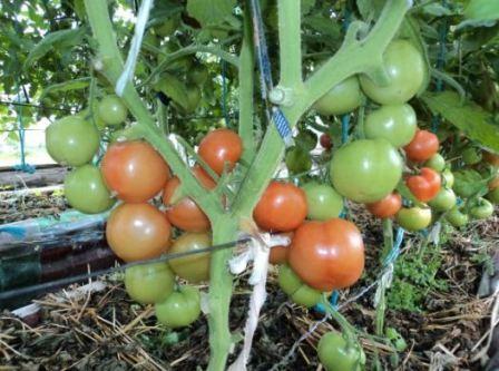 созревающие томаты на грядке