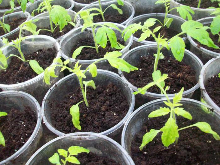 Почему рассада помидор вянет и падает: как спасти саженцы в зависимости от причины?