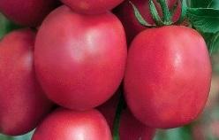 томат Сахарная слива малиновая