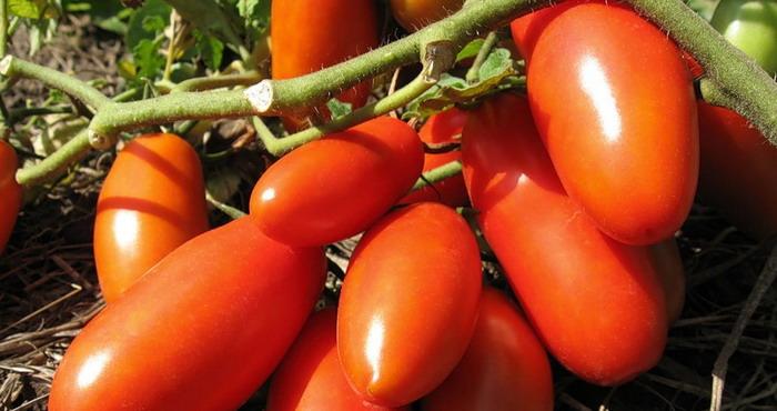 Какие сорта помидоров лучше сажать