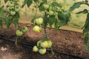 зеленые томаты Катя F1