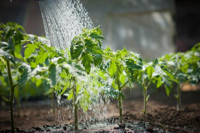 полив саженцов томатов