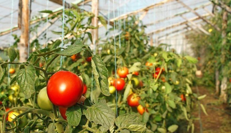 томаты созревают в теплице