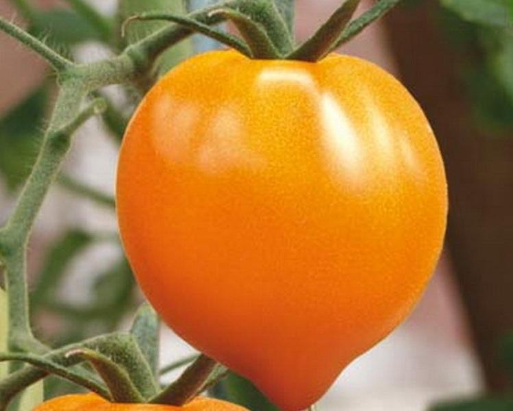 томат Золотое сердце