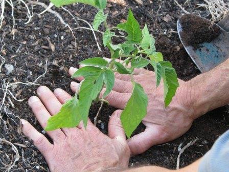 посаженный в землю помидорный куст