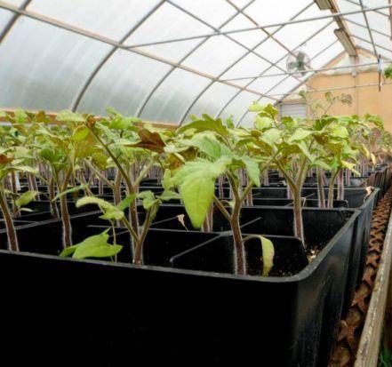 рассада томатов готовая к посадке