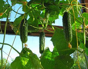 огуречные плоды на балконе