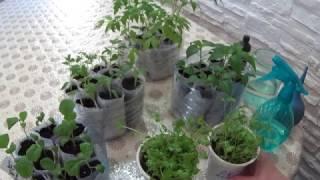 опрыскивание томатных сеянцев
