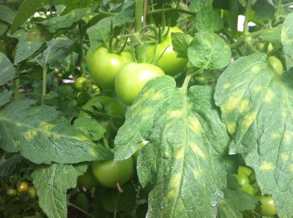 больные листья у помидор