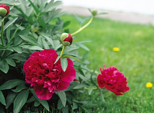 куст пиона с цветами