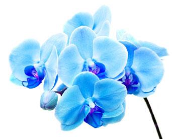 японская голубая орхидея