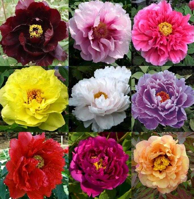 пионы разных цветов