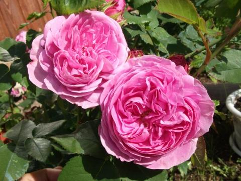 роза Луис Одьер