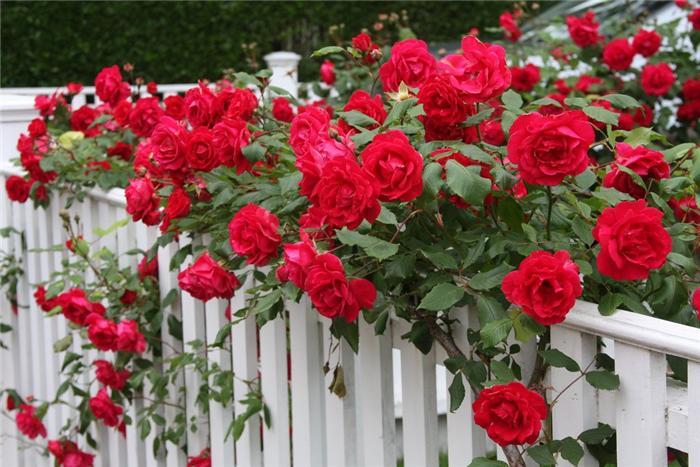 роза Эна Харкнесс