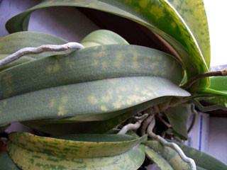 грибковое поражение орхидеи