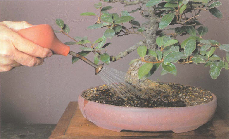 полив дерева бонсай