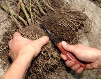 деление корней пиона