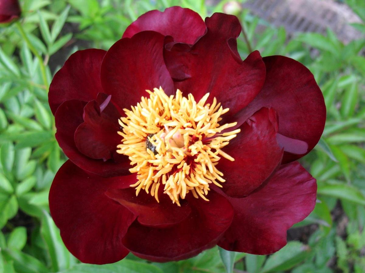 красивый цветок пиона