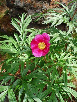 цветок Марьин-корень