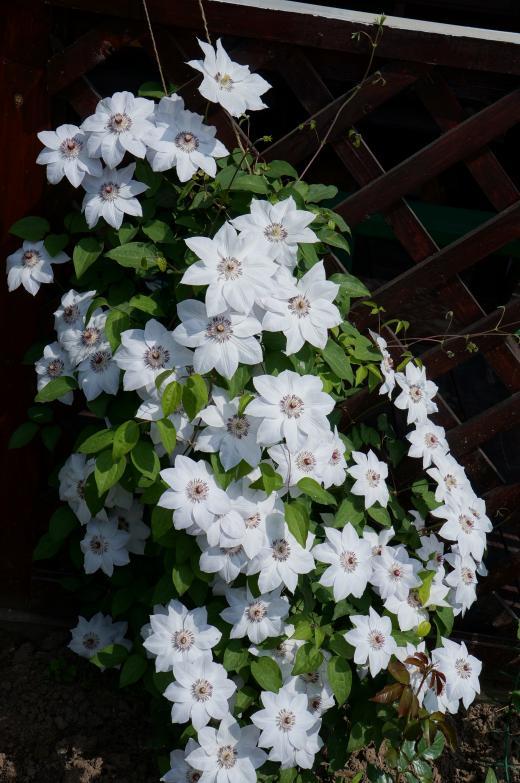 клематис с белыми цветами