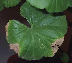 больной лист герани