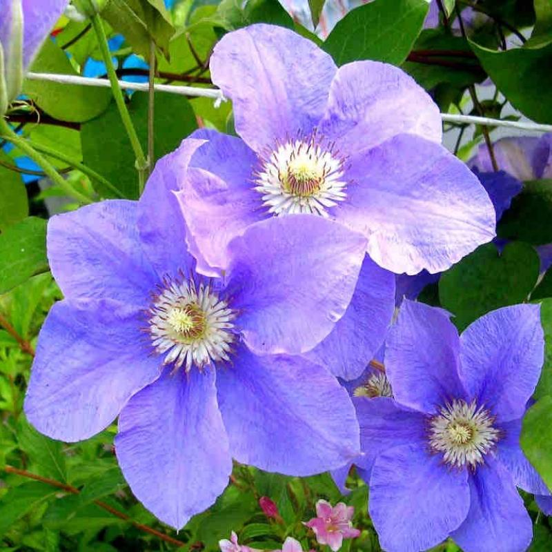 клематис Бал цветов