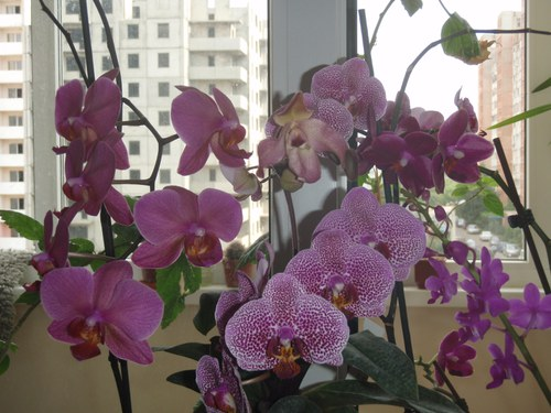 фаленопсис на окне