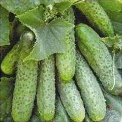 собранные огуречные плоды