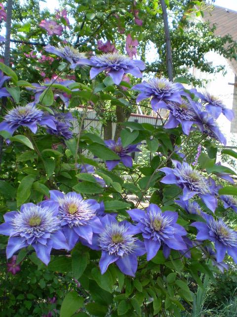 куст клематиса с голубыми цветами
