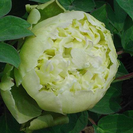 пион Зеленый шар