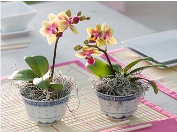 Размножение орхидеи Фаленопсис 95