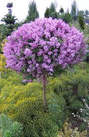 дерево сирени
