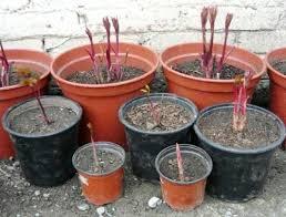 ростки пиона в горшках