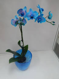 орхидея Phalaenopsis Royal Blue
