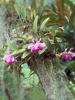эпифиты орхидеи