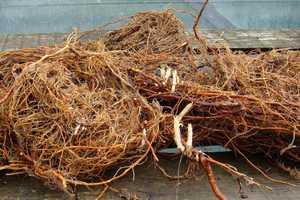корни малины