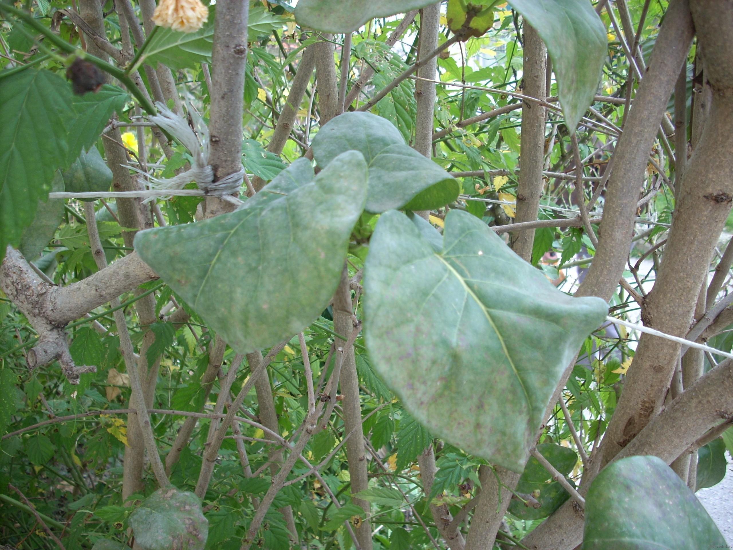 больные листья сирени