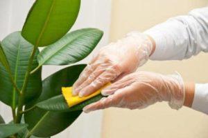 увлажнение листьев фикуса
