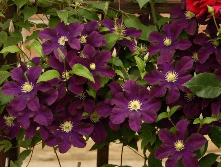 фиолетовые цветы клематиса