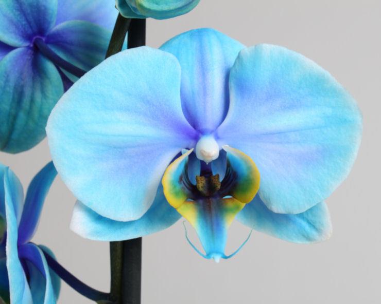 небесного оттенка цветок