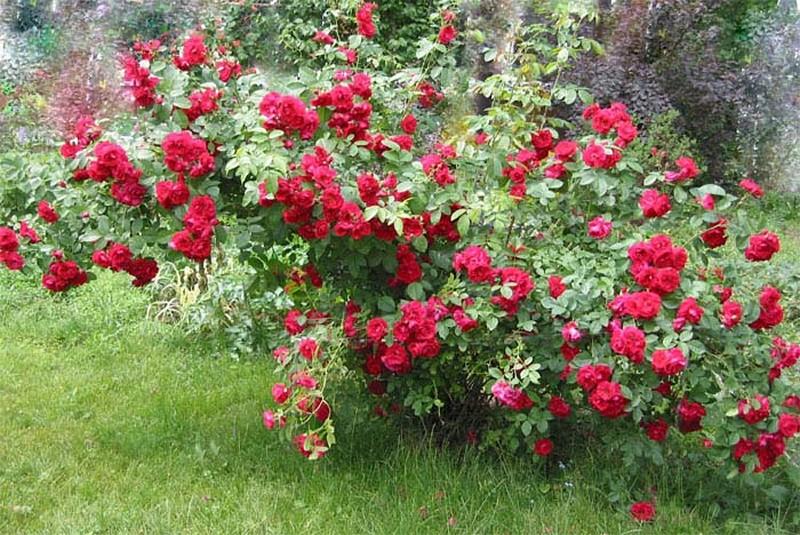 красная плетистая роза
