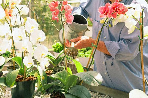 орошение орхидеи из лейки