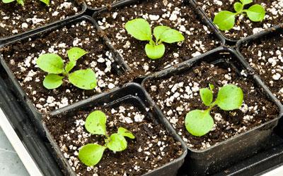 ростки петунии в отдельных емкостях