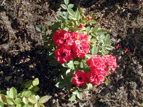посаженный куст розы