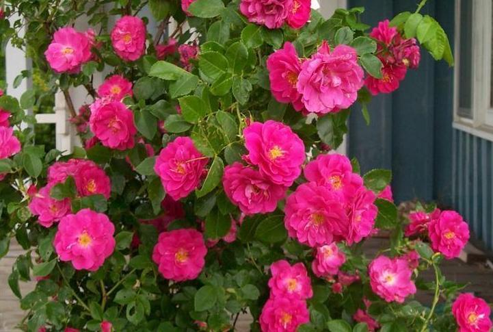 роза Вильям Баффин